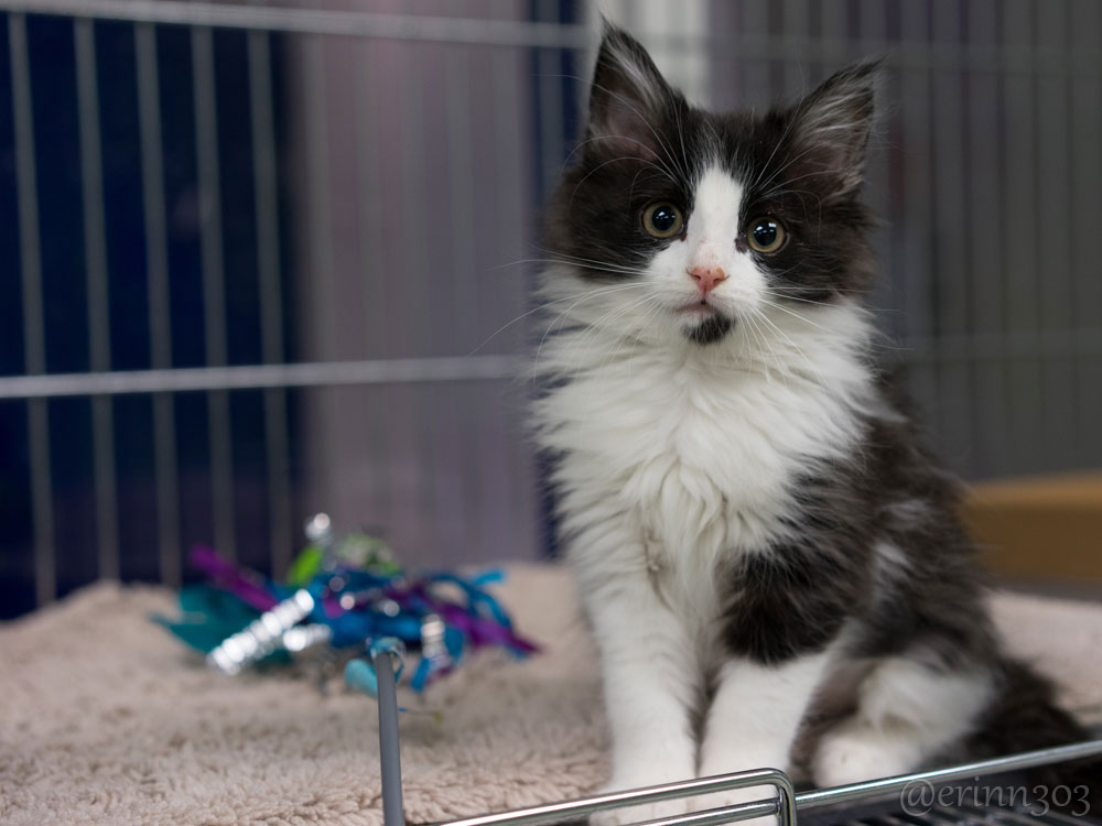 black and white shelter cat