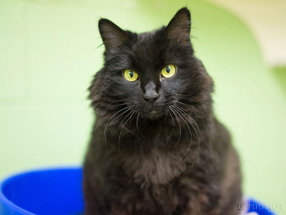 black shelter cat