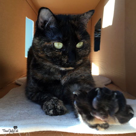 tortie cat in a box