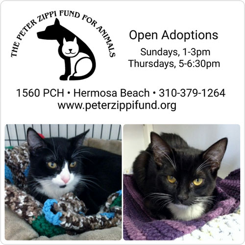two pictures of black cat with adoption information