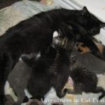 mother cat with nursing kittens