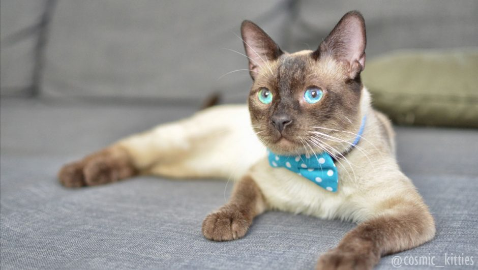 Tonkinese cat wearing bow tie