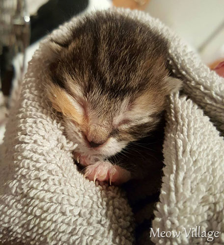 kitten in towel