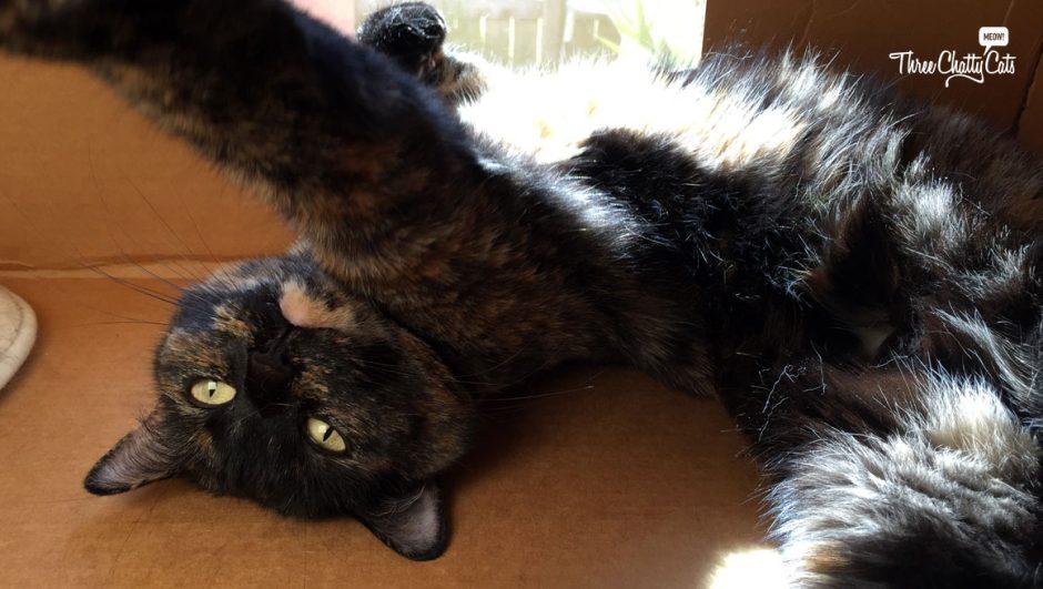 tortie cat in a box