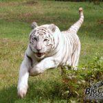 Zabu, white tiger