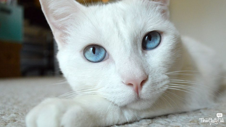 Sophie, white cat