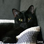 Leeroy, black cat