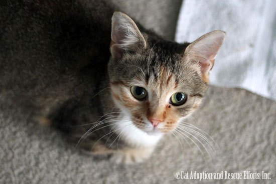 Cat Adoption and Rescue Efforts, Inc. (C.A.R.E.)