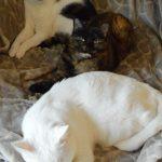 tabby cat, tortie cat, white cat