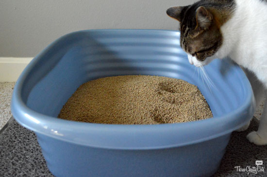 tabby cat and litter box