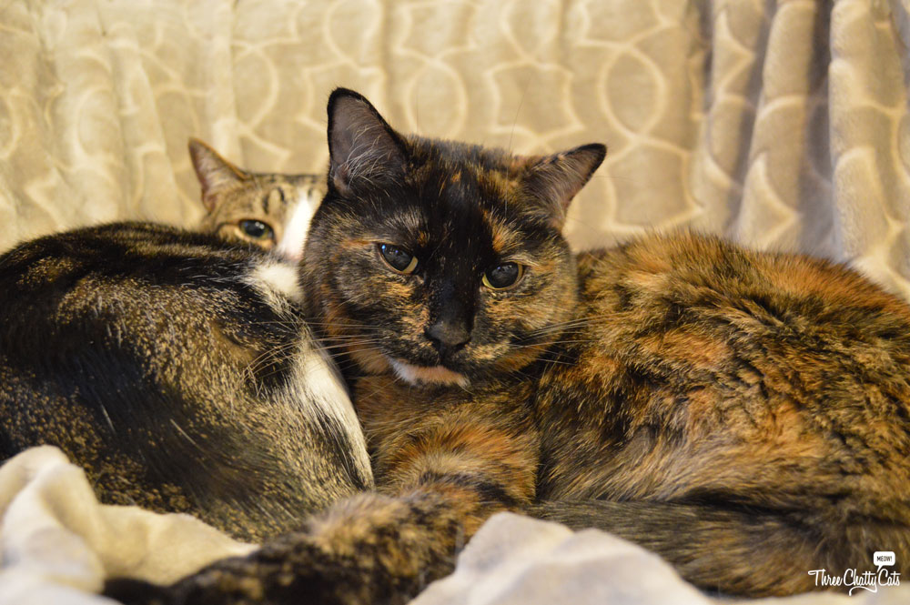 tortie cat and tabby cat snuggling