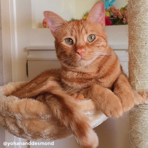 Desmond, ginger cat
