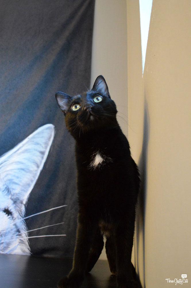 Juno, black foster cat