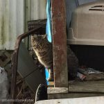 tabby cat in cat colony
