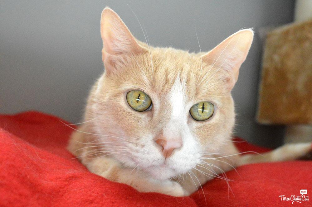 Foster Cat Carington