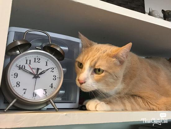 Carington, foster cat