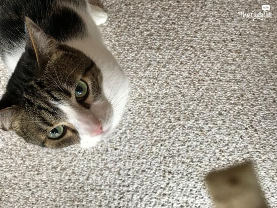 Dexter, tabby cat