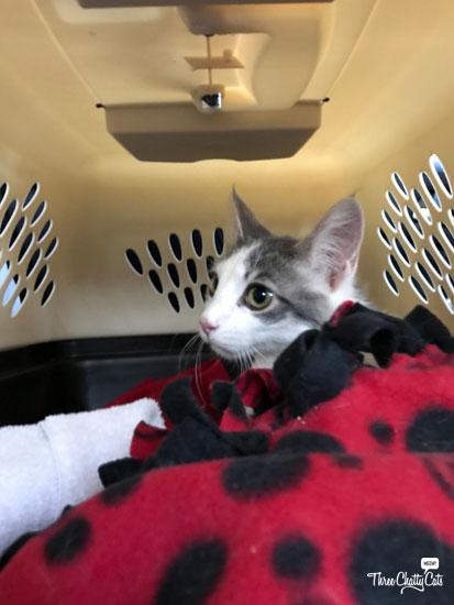 Hope, tabby foster kitten