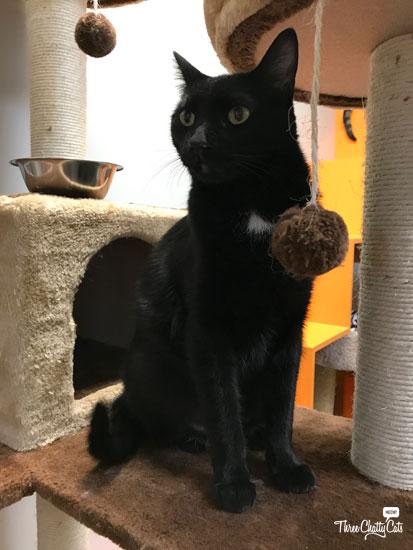 Juno, black cat