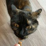 tortie cat wants treat