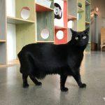 black cat at Catfe