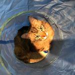 tabby cat at Catfe