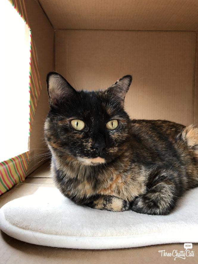 tortie cat in box