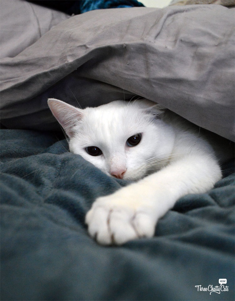 white cat under pillow