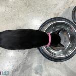 black cat drinking water