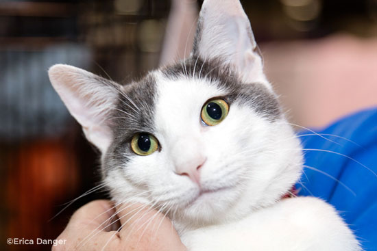 gray-white-cat.jpg