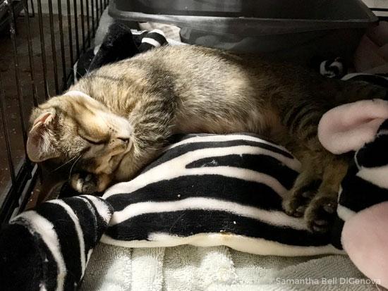 sleeping tabby kitten