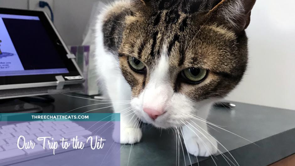 tabby cat at vet's office