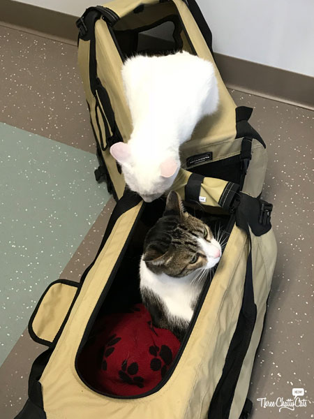 two cats in carriers