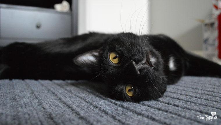 Foster Cat Juno