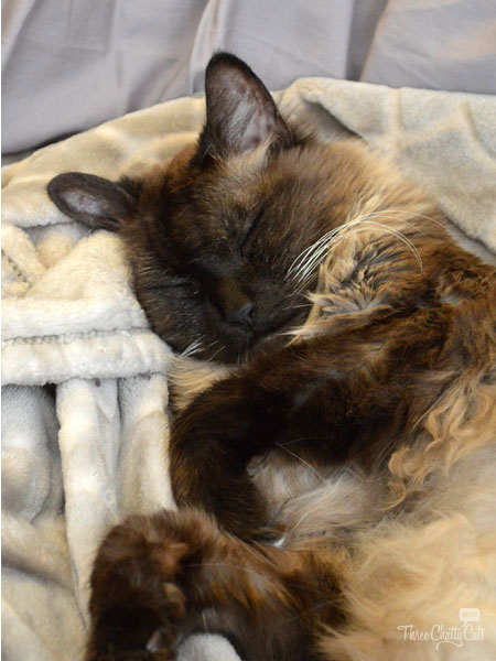 Himalayan mixed cat