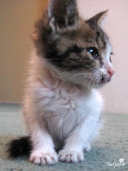 gray and white tabby kitten
