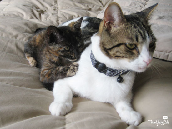 tortie kitten and gray and white tabby cat