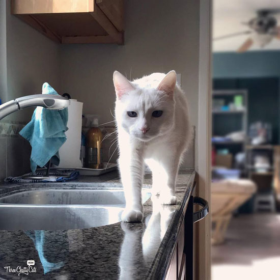 white cat on kitchen counter