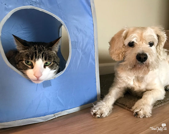 gray and white tabby cat and terrier mix dog