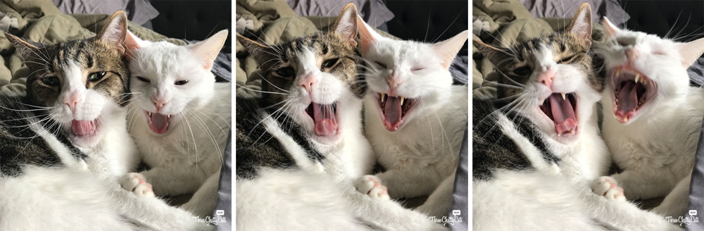 tabby cat and white cat yawning in unison
