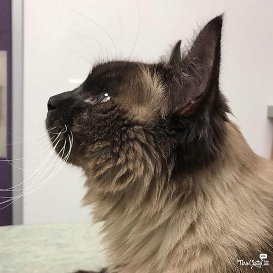 Siamese mix cat at vet