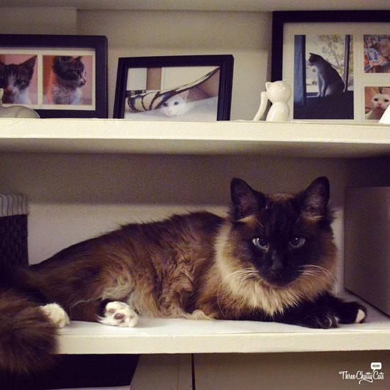 Siamese mix cat on shelf