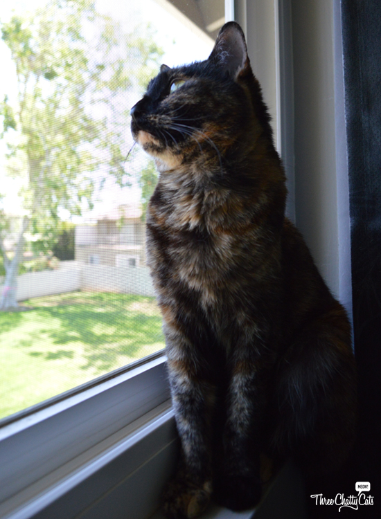 tortie cat sitting in window