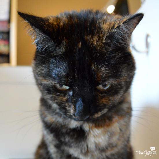 tortie cat looks mad