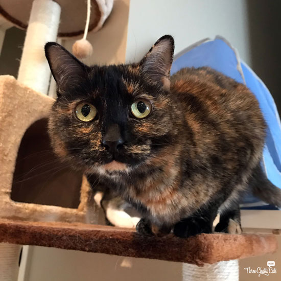 tortie cat on cat tree