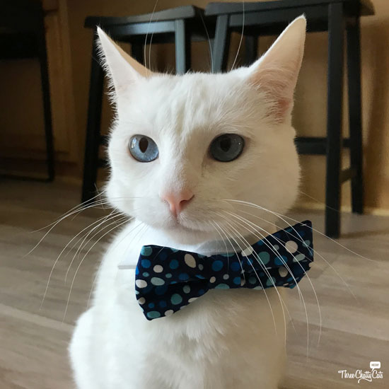 white cat in bow tie