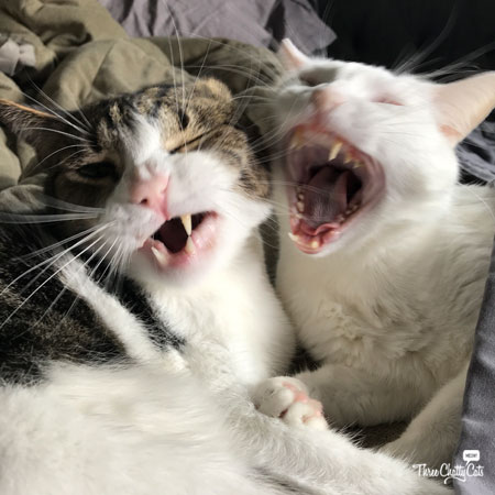 gray tabby cat and white cat yawning