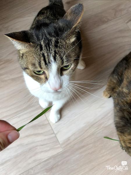 tabby cat wants catnip