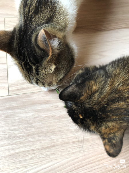 two cats eating catnip