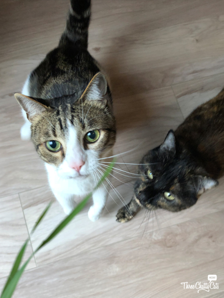 two cats want catnip